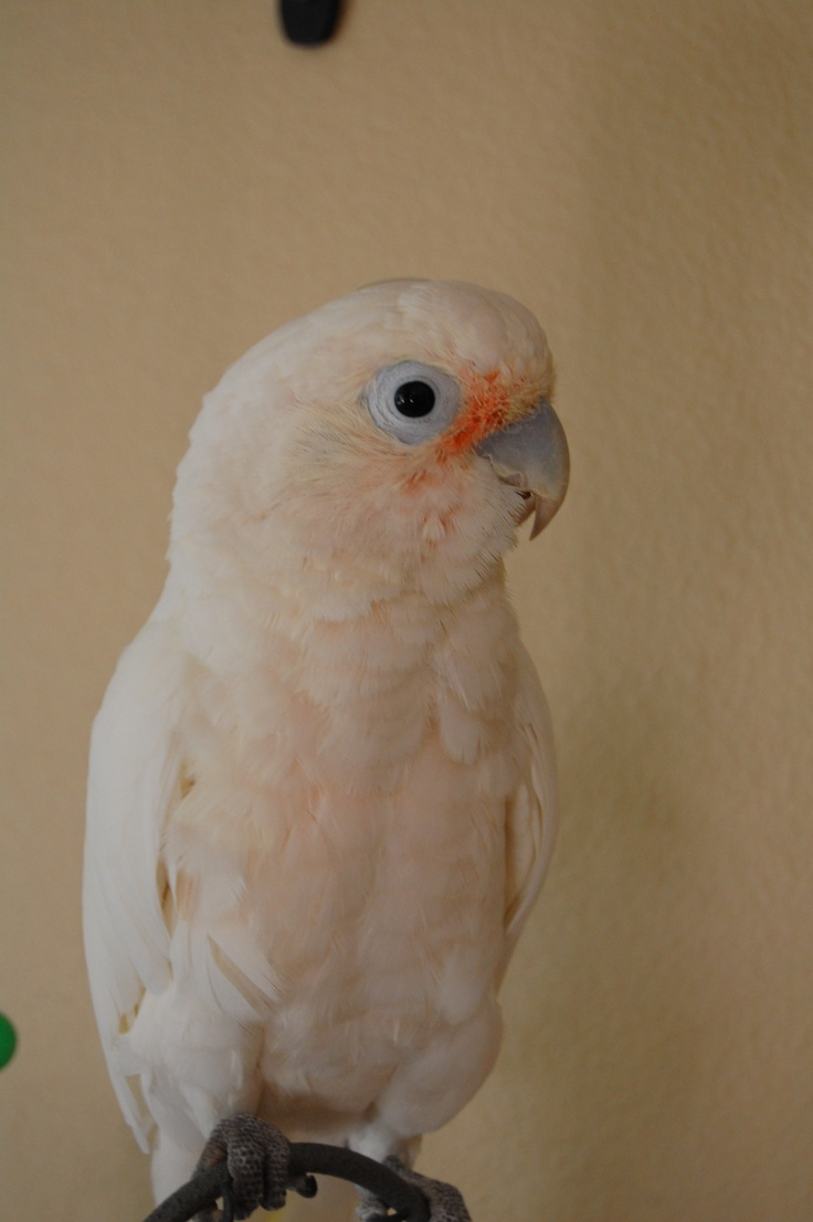 17 Best images about Goffin Cockatoo on Pinterest | Kids ...