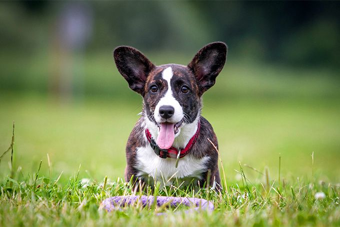 Cardigan Welsh Corgi information including pictures, training, behavior, and care of Cardigan Welsh Corgis and dog breed mixes.