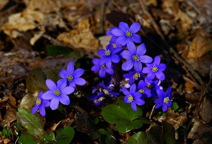Przylaszczki, Fioletowe, Kwiatuszki