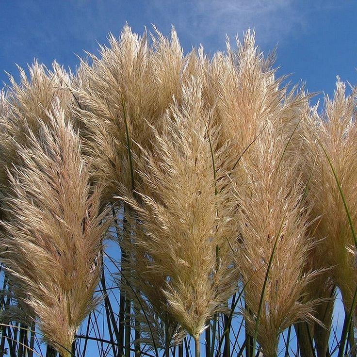 Les 25 meilleures id es concernant herbe de la pampa sur for Plantes decoratives jardin