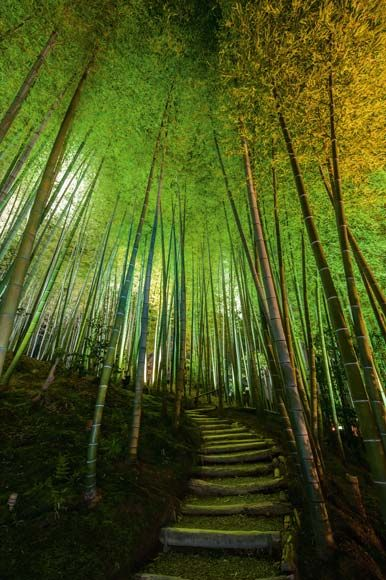 Jade spires of bamboo flank a path curving up to Kodai-ji Temple in Kyoto.