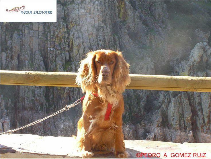 Una más de la familia... Nuestra maravillosa cocker Duna #Mascotas http://www.vidasalvaje.net/