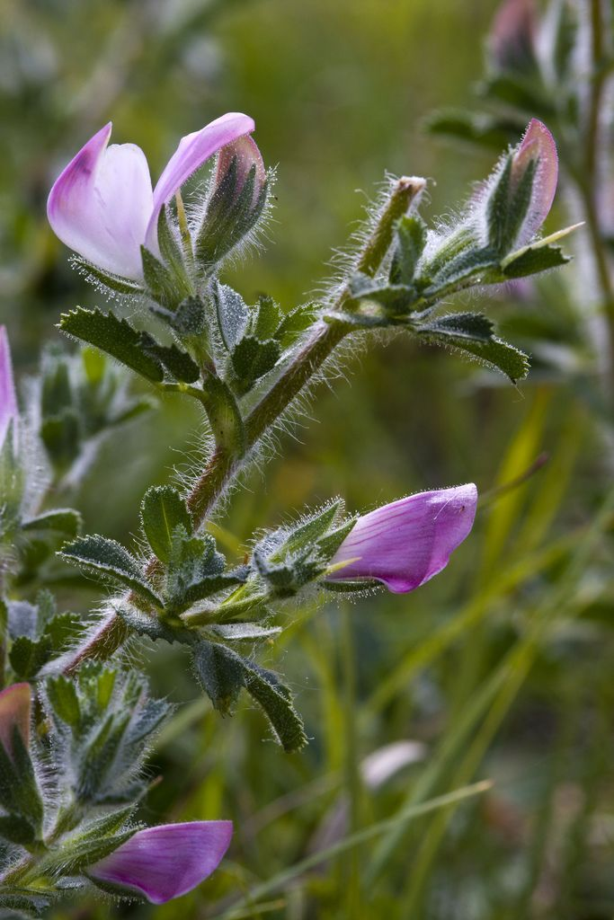 Spiny Restharrow (Ononis spinosa)