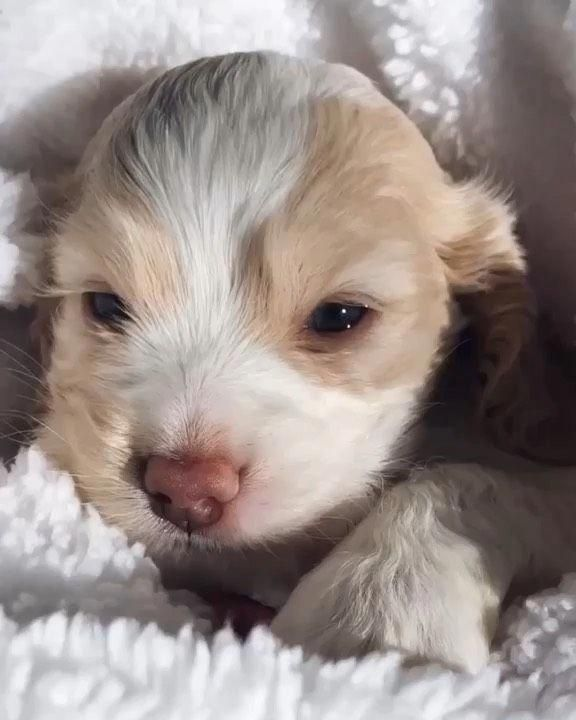 Determine Additional Relevant Information On Spaniel Puppies Browse Through Our Internet Site Spanielpuppi In 2020 Spaniel Puppies Cute Animals Cute Funny Animals