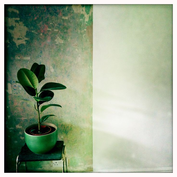 Rubber plant living room decor