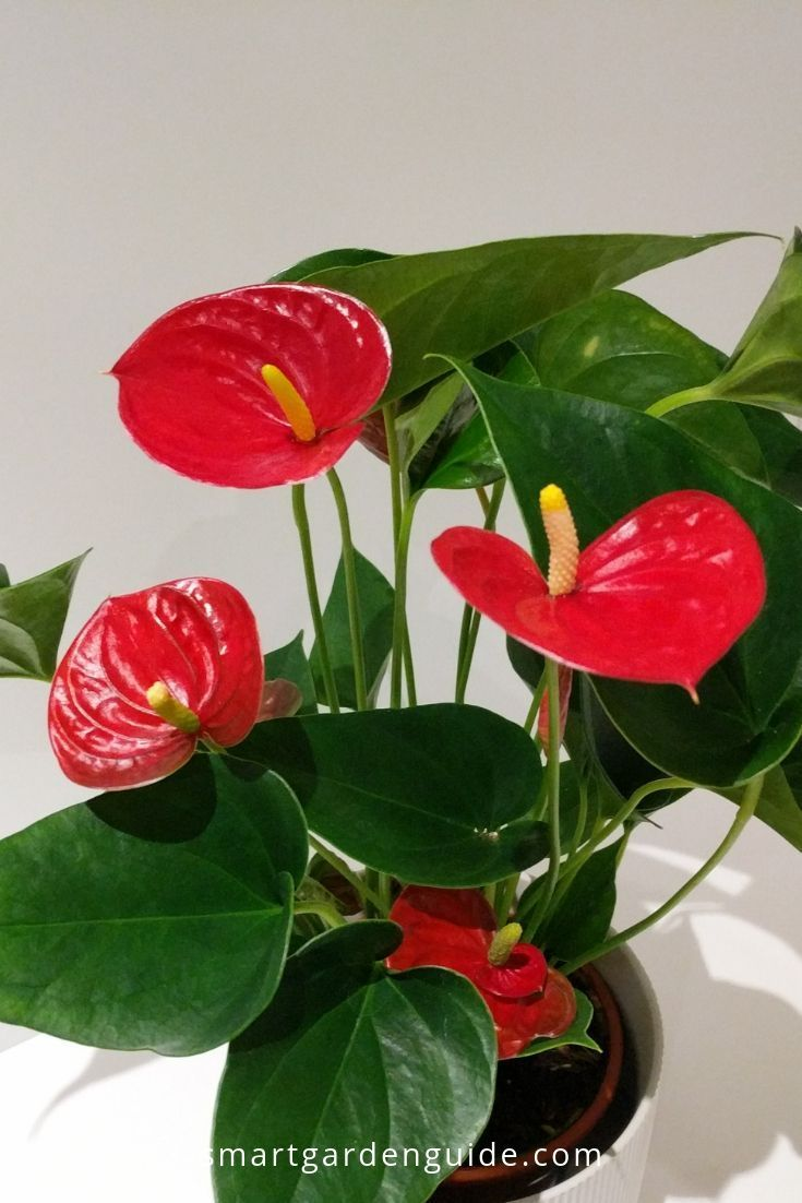 7 Ways To Make Your Anthurium Bloom If Your Flamingo Flower Isn T Blooming Try These 7 Tips To Fix Your Plan Anthurium Plant Flamingo Flower House Plant Care