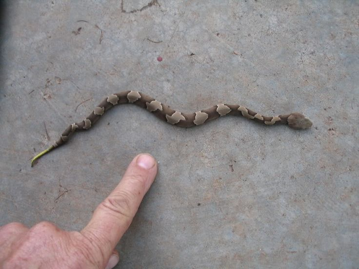 Baby Copperhead Picture Snake | Baby Copperhead I spotted ...