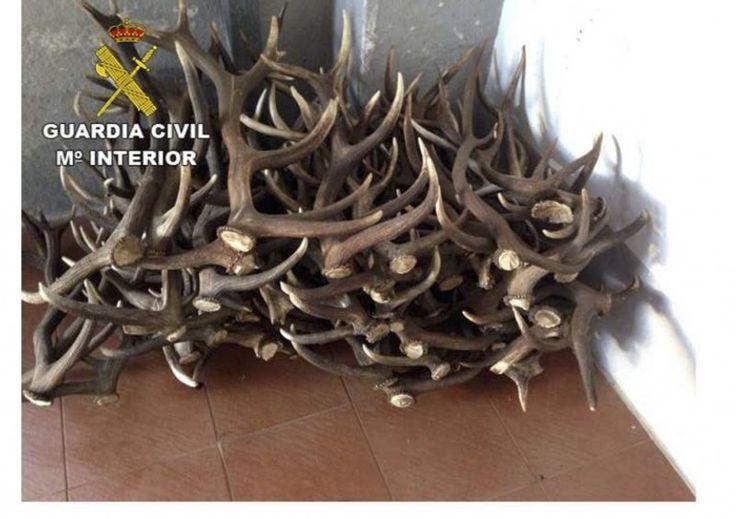 Cuatro detenidos por robo de astas de ciervo y amenazas de muerte