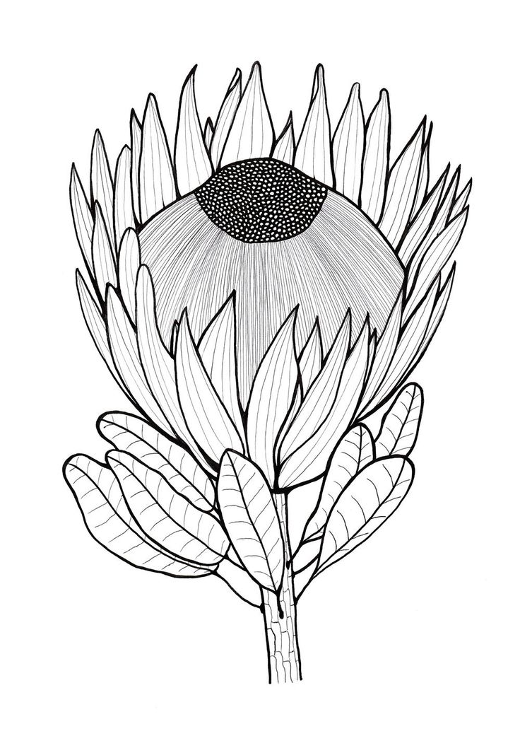 King protea sketch images galleries for Sketch online free