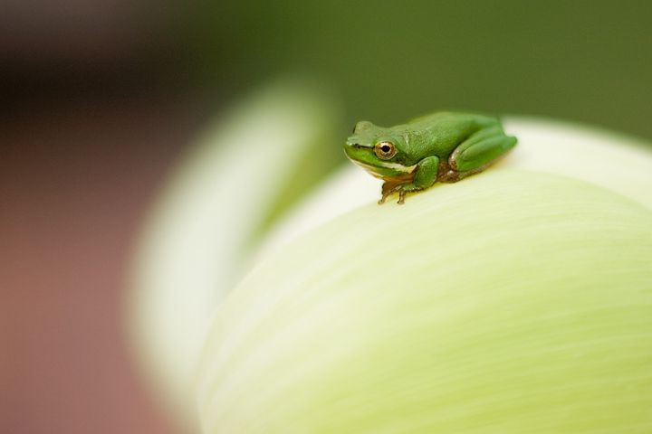 Frog on a lotus flower