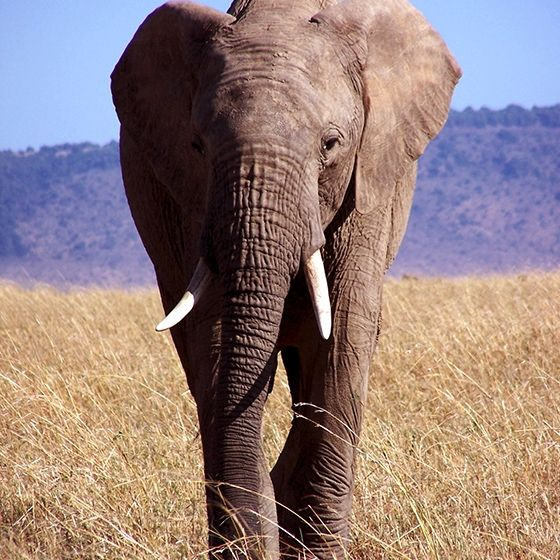 African elephant photo . 1000+ awesome free vector images, psd templates, icons…