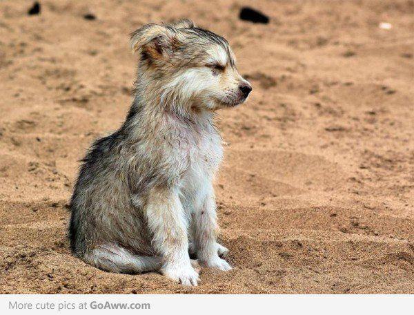 Sleepy Wolf Puppy. I Want One!