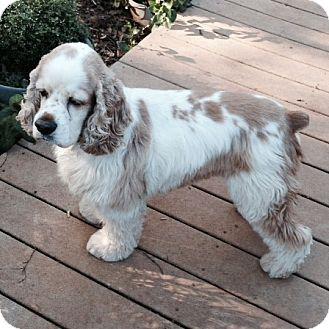 Sacramento, CA - Cocker Spaniel. Meet Sam a Dog for Adoption.