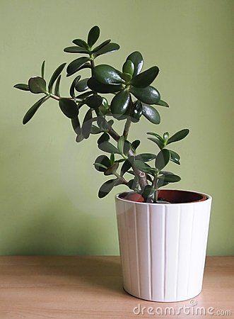 One crassula argentea in a pot