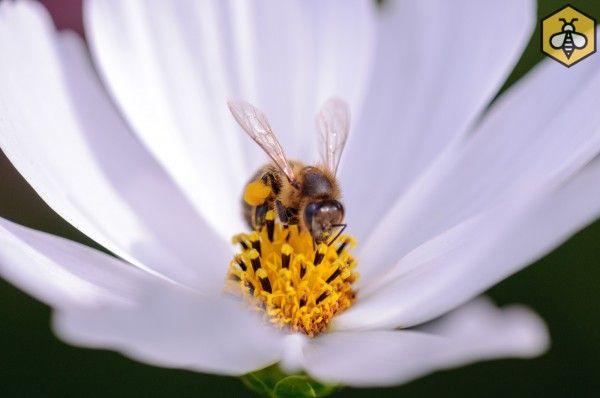 Kosmos podwójnie pierzasty jest chętnie odwiedzany przez pszczoły.
