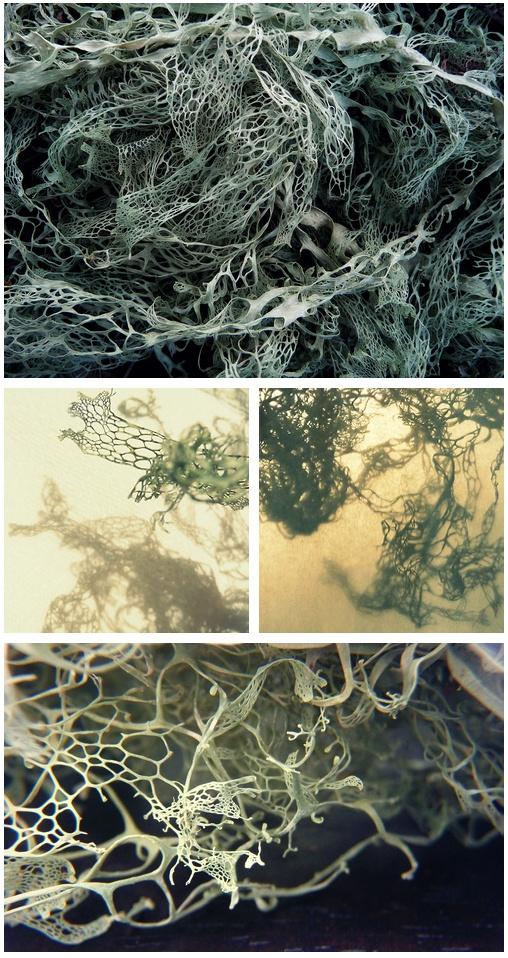 BOTANY  Images of lichen http://janedzisiewski.tumblr.com/post/45830886060