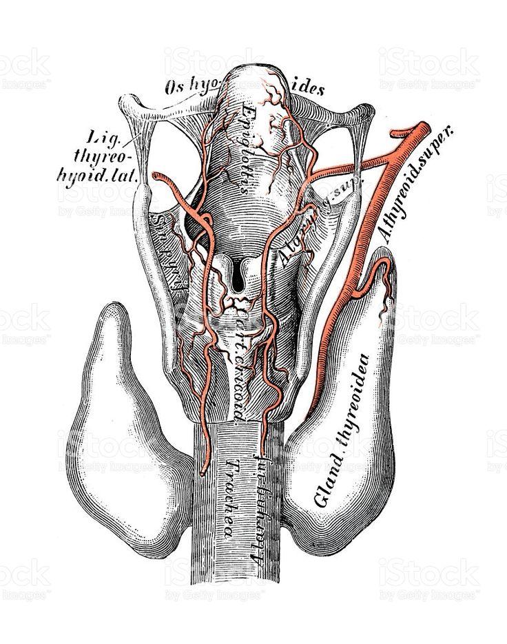 Human anatomy scientific illustrations: Superior thyroid artery royalty-free stock vector art