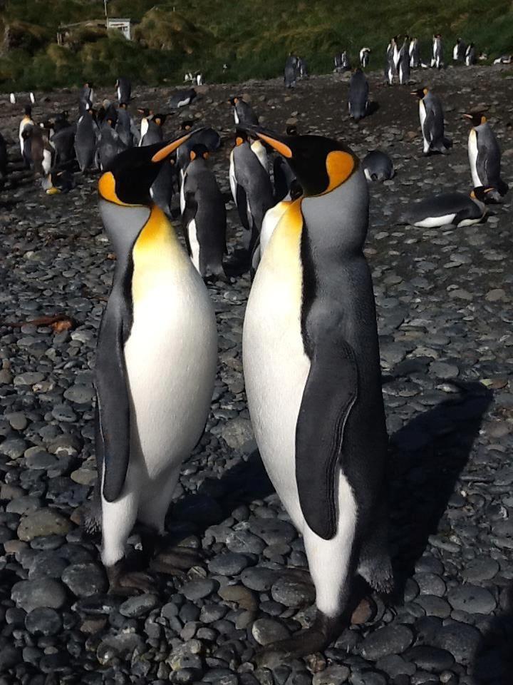 Might meet a few King Penguins, Hurd Point, Maquarie Island, Tasmania. Tasmania Parks and Wildlife services.