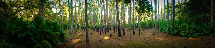 South Cumberland Island Forest - Pine forest with no undergrowth as a result of recent fire. Forest ecosystem occurring on South Cumberland Island national seashore.