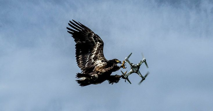 Dutch Firm Trains Eagles to Take Down High-Tech Prey: Drones.   When small, off-the-shelf models pose security or other threats, birds have the advantage of grounding them without a potentially dangerous crash.