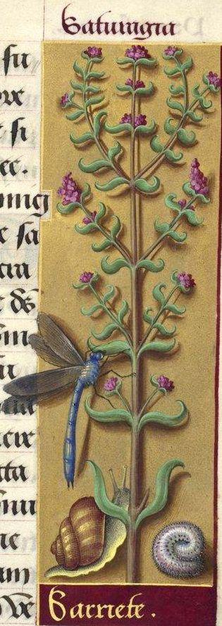 Sarriete - Saturagia (Satureia hortensis L. = sarriette des jardins) -- Grandes Heures d'Anne de Bretagne, BNF, Ms Latin 9474, 1503-1508, f°213r