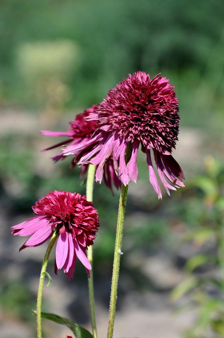 Echinacea _RS-FOTO