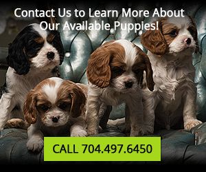 Cavalier King Charles Spaniel Puppies For Sale | Lovett Cavalier King Charles Spaniels