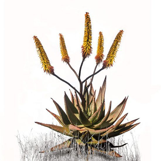 Our vibrant range of Aloe Canvas Prints is proving to be quite popular! Shop the range online at NguniGalore.com - delivery is FREE on these items to anywhere in sunny South Africa!