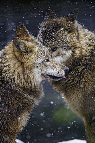 Snowfall - Two wolves saying hello.