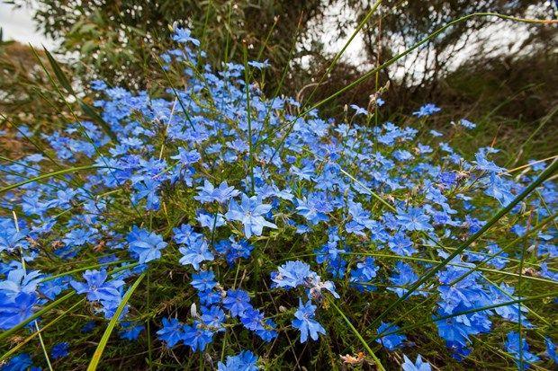 Blue Leschenaultia (Lechenaultia biloba)