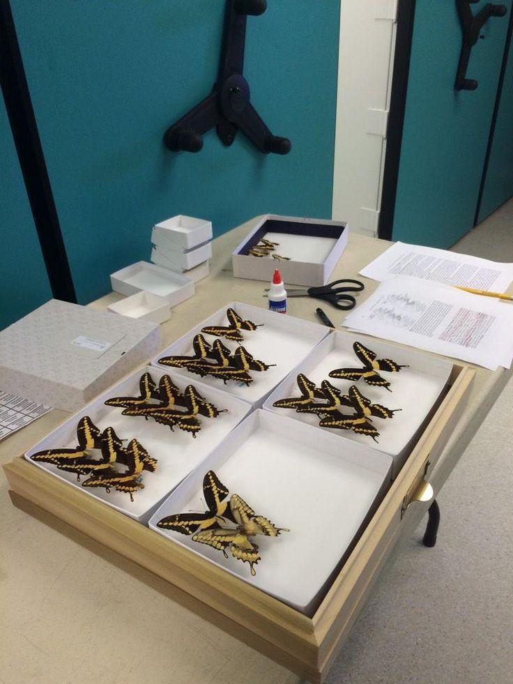 パラタイプの標本をサンディエゴ自然史博物館に寄贈してきた。残りのパラタイプはフロリダ大学へ送る予定。これで標本箱が一つ空く。