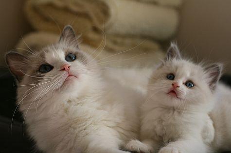 Ragdoll Cats Ragdoll Kittens by Rock Creek Ranch Ragdoll Cattery - Ragdoll Kittens Available For Sale