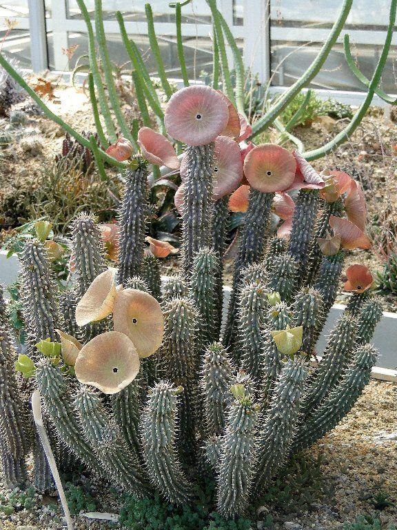 """""""Hoodia gordonii - ǁhoba (kǁʰɔbɑ)"""" en idioma khoe, y Ghaap en Afrikaans .. Es una planta medicinal perteneciente a la subfamilia de las Asclepiadáceas nativa del sur de África.. Es muy común en el desierto del Kalahari, donde las elevadas temperaturas (alrededor de los 45 °C) permiten su floración.. En otras latitudes crece con dificultad, de hecho no tolera temperaturas invernales inferiores a los 15 °C...."""