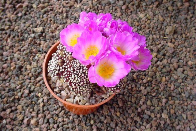 Mammillaria luethyi - Photo: Franck Martin - Plante: Yann Cochard (www.cactuspro.com)