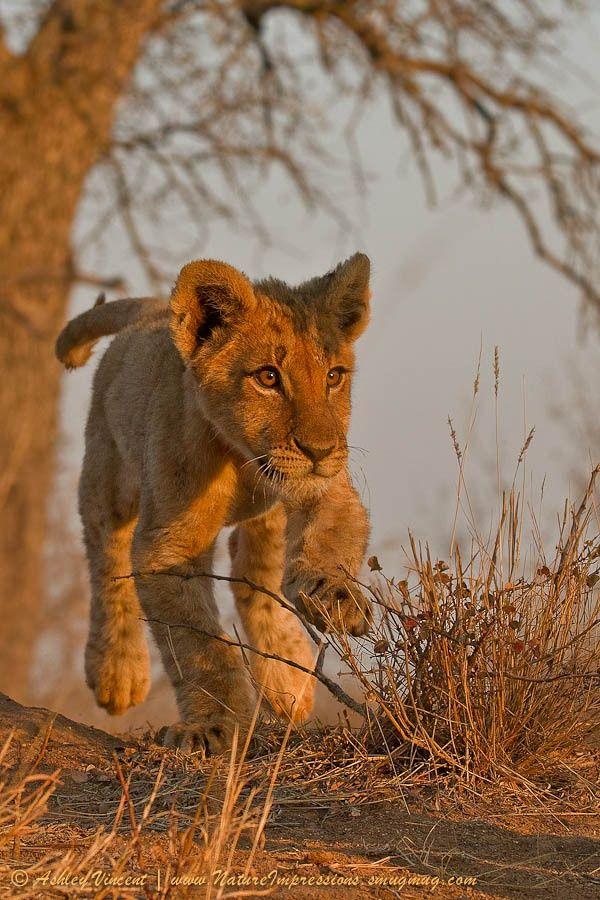 Little cub running across the African desert