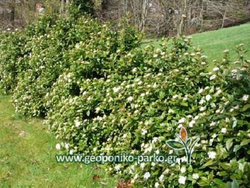 Ανθοφόροι θάμνοι : Μυρτιά φυτό - Σμύρτο - Myrtus communis