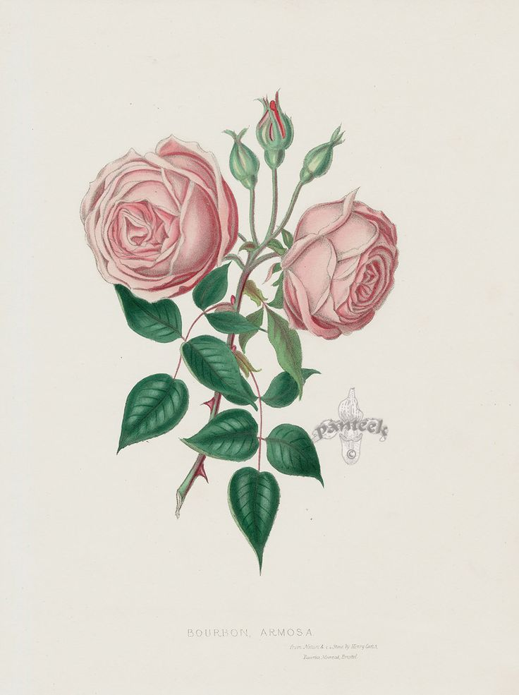 Bourbon Armosa Rose from Vintage Rose Prints by Henry Curtis 1850