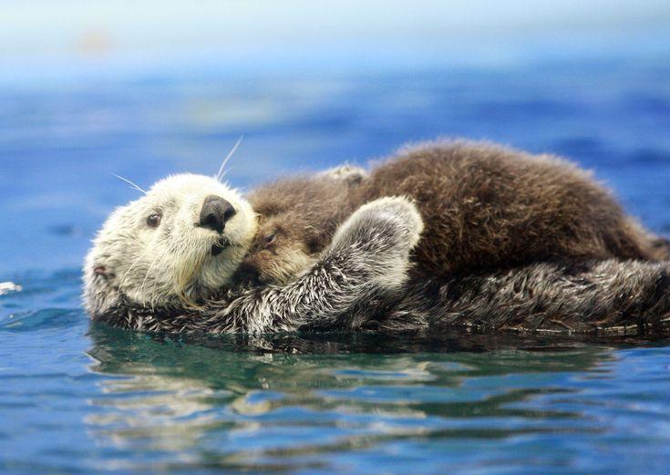 Nooit eerder hebben ze zo'n lief tafereeltje gezien, zeggen de bezoekers van hetMonterey Bay Aquarium in de Verenigde Staten.  Lees ook: Eerste zwemles voor kleine babyotters   Een paar dagen geleden werd de kleine otter geboren en meteen duiken meerdere filmpjes op YouTube op. Oordeel zelf.