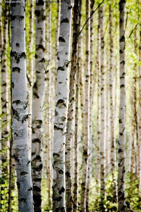 Koivikko - koivu koivikko metsä kevät puu vihertää alkukesä toukokuu valoisa kaunis vihreä kulta betula metsätalous metsänviljely tuotanto koivumetsä