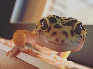 What to Do if your Leopard Gecko isn't Eating