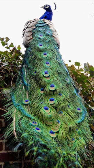 The Amazing Peacock (Facts and Photos)                                                                                                                                                                                 More
