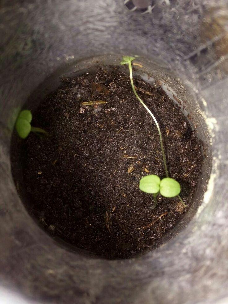 Tratamiento abono + semilla 4/09