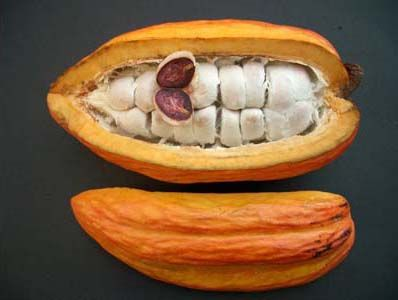Cacao:  These nuts are removed and fermented for 3-5 days to get rid of the pulp. After this the beans are dried slowly, during which the beans oxidize and turn a dark brown color. Cacao powder can also be pressed to separate the cacao butter from the cacao. Cacao butter is often used in cosmetics such as sun-tanning products or skin cream.