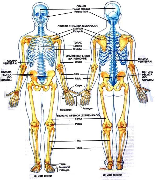 Diferenças entre Esqueleto axial de apendicular e seus principais ossos