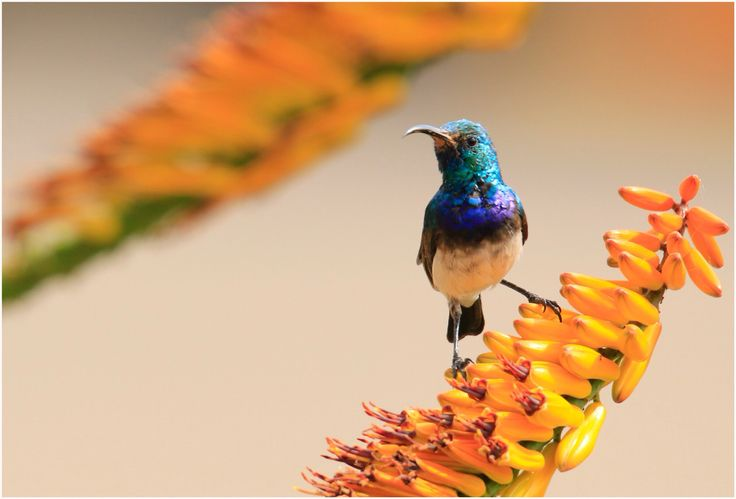White-bellied Sunbird & Rissington Lodge, 🇿🇦 South Africa...
