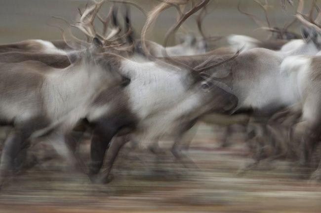 Wildlife photographer Vincent Munier