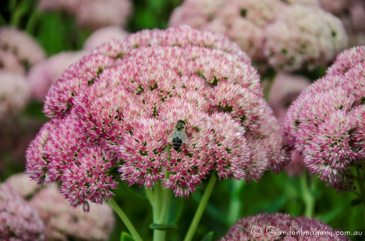 Sedum flower head with bee
