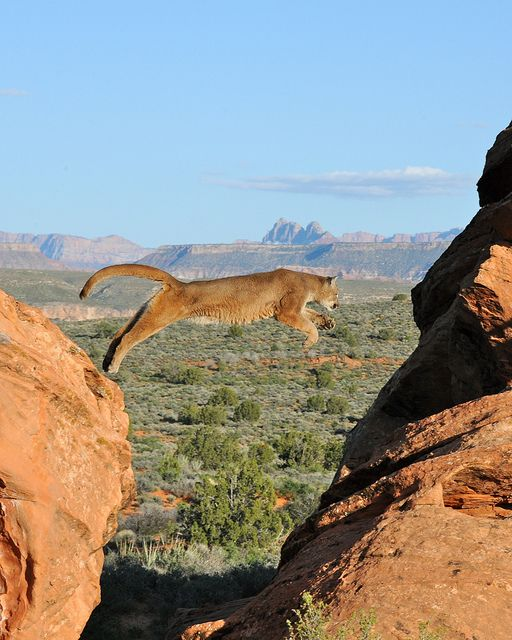 Desert Cougar...what a marvelous confluence to get this shot. One in a million.