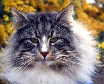russian forest cat | Norwegian Forest Cat Breeders Australia - Norwegian Forest Kittens for ...