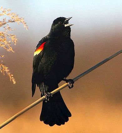 Red-winged Blackbird awaken the mind with awareness as changes of perceptions unfold through one's own psychic abilities, consciousness, latent healing gifts and creativity. Determination, focus and tenacity will allow one to use one's power to its fullest potential during one's endeavors.They teach us to listen to our own intuition, thus aiding in understanding the connection to all things in life and nature, by giving us the strength for one to move forward both mentally and spiritually.